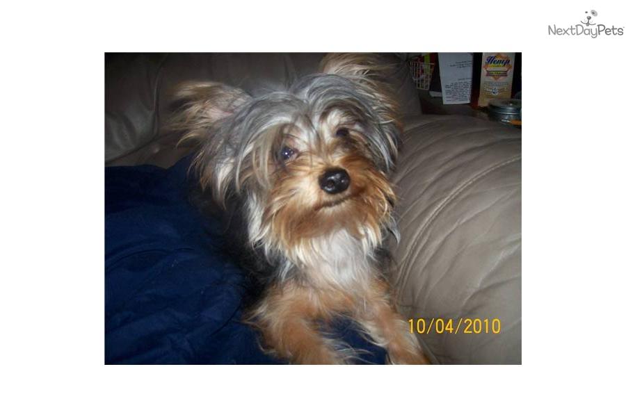 missouri-sw--tiny-yorkie-417-733-3041dog-yorkshire-terrier-yorkie