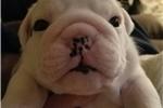Picture of English bulldog puppy