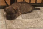 Picture of Rascal- Brindle Male