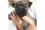 Picture of Darla- Brindle Female