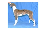 Picture of a Greyhound Puppy