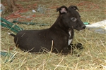 Black Cadillac | Puppy at 15 weeks of age for sale