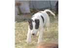Cow Puppy | Puppy at 15 weeks of age for sale