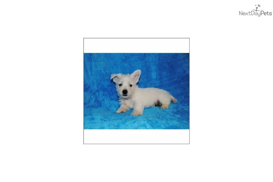 Terrier Dogs For Sale in Georgia West Highland White Terrier Puppies For Sale in Georgia