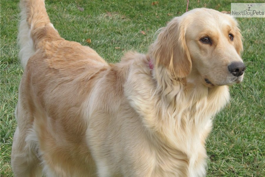 Meet CHAMP a cute Golden Retriever puppy for sale for $895. ENGLISH / AMERICAN CHAMP