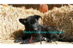 Picture of Wolverstone's Mr. Cranberry Twist Black Male Puppy