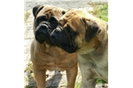 Picture of NEW BULLMASTIFF BABIES COMING SOON!!!