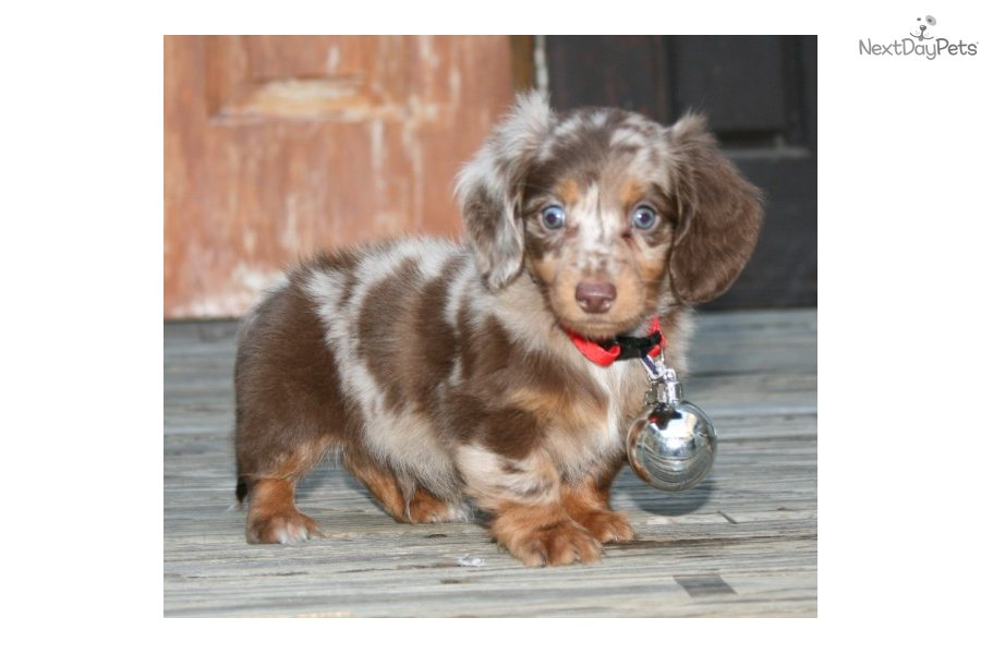 Miniature Dachshund Puppies For Sale Purebred | Apps Directories