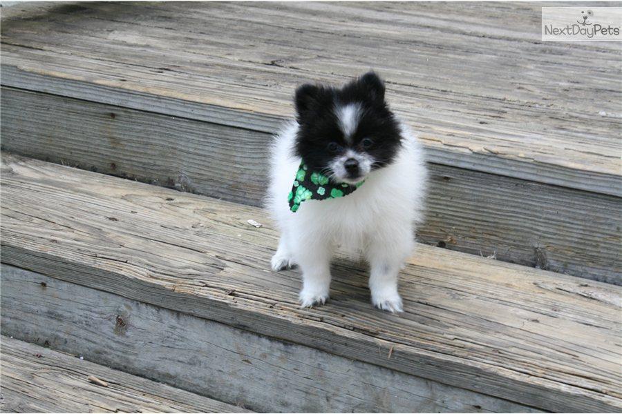 Meet Panda a cute Pomeranian puppy for sale for $400. Panda