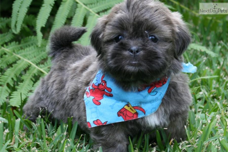 Blue Shih Tzu Puppy | baker blue shihtzu shih tzu puppy ...