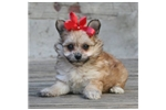 Picture of a Poma-Poo - Pomapoo Puppy