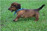 Picture of Denver Brindle Long Coat see video!