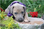 Picture of Alfie blue fawn