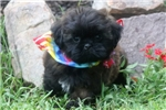Pekingese for sale