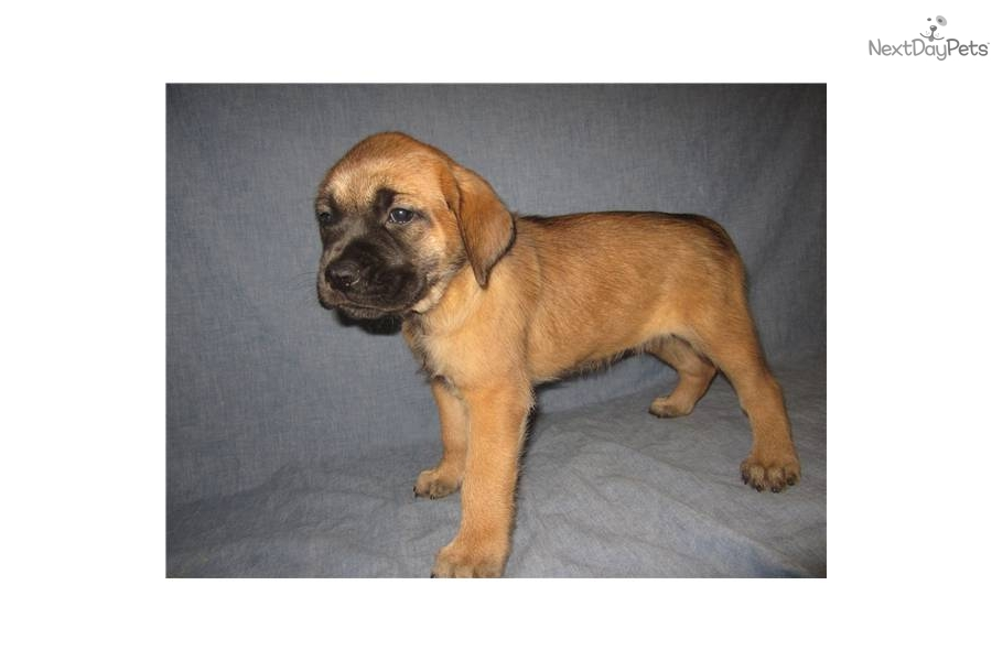 english mastiff puppies for sale no papers