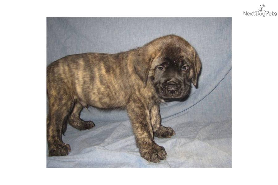 Mastiff puppy for sale near Southeast Missouri, Missouri | df99bfdc ...