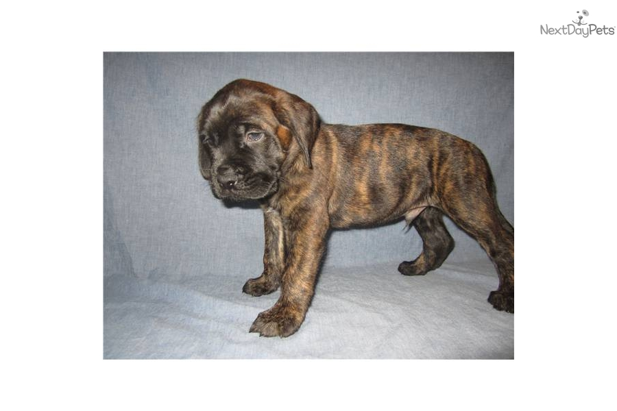 ... puppy for sale for $1,200. AKC English Mastiff Puppy (brindle, male