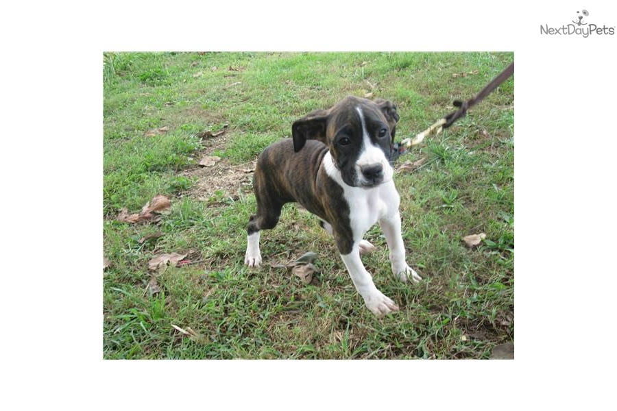 akc adult female boxer they flora