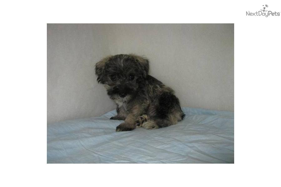 Mauzer Dog For Sale