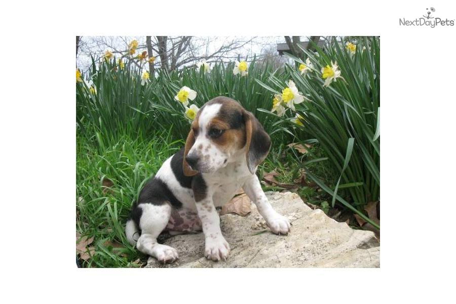 Beagle Puppies For Sale Beagleaussie mix  Terrific Pets