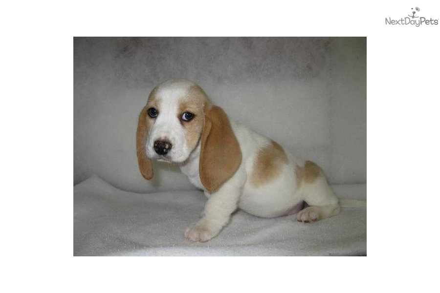 Lemon & White Female Basset Puppy (Lilly) - Basset Hound picture