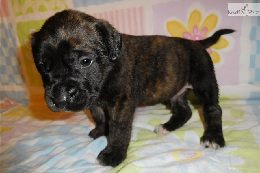 Mastiff puppies for sale in missouri