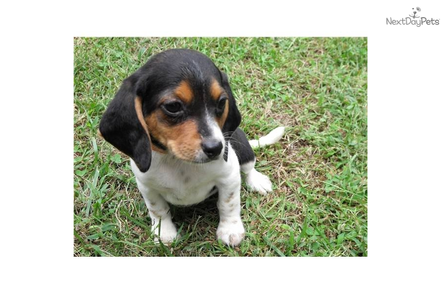 Beagle Olde English Pocket Beagle Miniature Beagle Toy Beagle Image ...