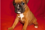 Picture of AKC registered female Boxer puppy (Winnie)
