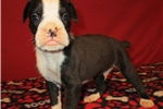 Picture of Remarkable AKC registered male Boxer puppy (Bo)