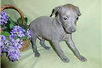 Picture of Beautiful AKC registered male Italian Greyhound