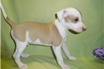 Picture of Adorable AKC registered male Italian Greyhound