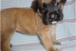 Picture of Female English Mastiff puppy nicknamed Delilah
