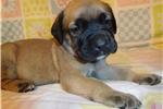 Picture of AKC registered male English Mastiff puppy-Dallas