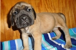 Picture of Male AKC registered English Mastiff puppy-Neptune