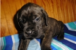 Picture of Female AKC registered English Mastiff puppy-Nevada