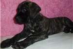 Picture of Male AKC registered English Mastiff puppy- Neptune