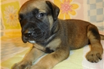 Picture of AKC registered male English Mastiff puppy-Dugger