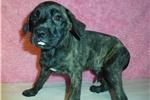 Picture of Female AKC registered English Mastiff puppy- Nova