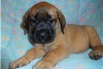Picture of Female AKC registered English Mastiff puppy-Hannah