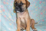 Picture of Female AKC registered English Mastiff puppy-Hazel
