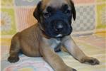 Picture of AKC registered male English Mastiff puppy-Draven
