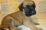 Picture of AKC registered male English Mastiff puppy-Dodge