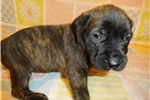 Picture of AKC registered male English Mastiff puppy-Diesel