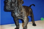 Picture of AKC registered male English Mastiff puppy (Norris)