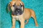 Picture of AKC registered female English Mastiff puppy-Hannah