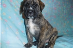 Picture of Male AKC registered English Mastiff puppy-Hank