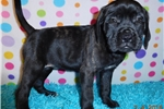 Picture of English Mastiff puppy available, AKC reg. (Nadine)