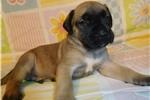 Picture of AKC registered male English Mastiff puppy-Dakota