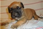 Mastiff for sale