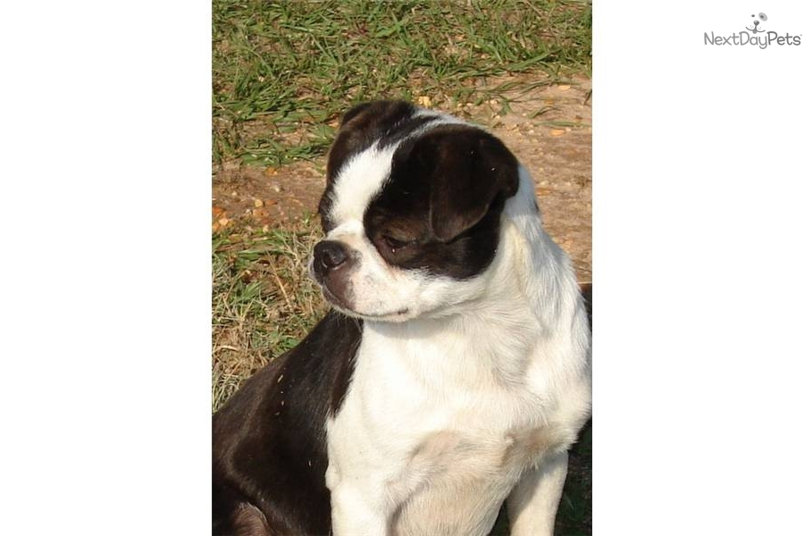 Chinese Boston Chin Only Pup In Litter Boston Terrier